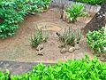 Star Shelled Turtles in Indira Gandhi Zoological park.jpg