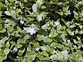 Starr-010419-0051-Vinca major-habit-Kula-Maui (24164465049).jpg