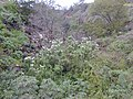 Starr-020103-0001-Montanoa hibiscifolia-habit-old Kula Rd-Maui (24177776249).jpg