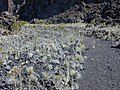 Starr-031001-0102-Heterotheca grandiflora-habit-Waikau trail HNP-Maui (24646118576).jpg