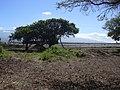 Starr-040203-0020-Schinus terebinthifolius-debris removed-Kanaha Beach-Maui (24330422969).jpg