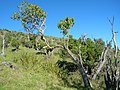 Starr-051217-5742-Charpentiera obovata-habit-Auwahi-Maui (24482646259).jpg