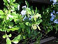 Starr-080103-1246-Plumbago auriculata-flowering habit-Lowes Garden Center Kahului-Maui (24873051906).jpg