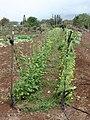 Starr-090421-6288-Phaseolus vulgaris-crop-Pukalani-Maui (24926120406).jpg