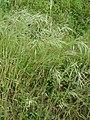 Starr-090426-6366-Bromus diandrus-seeding habit-Lower Kula Rd Kula-Maui (24859311151).jpg