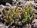Starr-090504-7250-Asplenium adiantum nigrum-habit-Science City-Maui (24860875311).jpg