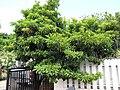 Starr-090709-2508-Manilkara zapota-habit-Lahaina-Maui (24600589489).jpg