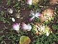 Starr-090813-4176-Barringtonia asiatica-flowers-Kamalii Park Kahului-Maui (24345189773).jpg