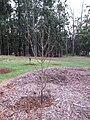 Starr-110217-1534-Prunus persica var persica-Long Beach dormant habit-Olinda-Maui (24780858690).jpg