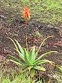 Starr-110307-2953-Aloe sp-flowering habit-Kula Botanical Garden-Maui (25079076795).jpg