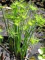 Starr-110330-3731-Cyperus papyrus-dwarf habit in water garden-Garden of Eden Keanae-Maui (24785093460).jpg