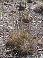 Starr-110515-6584-Festuca rubra-seeding habit-Science City-Maui (24977103922).jpg