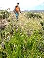 Starr-110705-6559-Erica lusitanica-flowering habit with Kim-Waiale Gulch-Maui (25004627691).jpg
