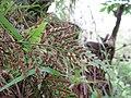 Starr-170422-7864-Asplenium adiantum nigrum-sori-Hawea Pl Olinda-Maui (35226794595).jpg