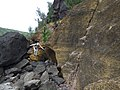 Starr-180505-0661-Casuarina equisetifolia-with cinder layer and Kim large boulders-Honokahau-Maui (43428402482).jpg
