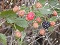Starr 010717-0064 Rubus argutus.jpg