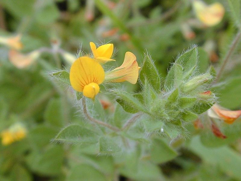 Lotier hérissé / Lotus angustissimus subsp. hispidus 800px-Starr_020808-0012_Lotus_subbiflorus