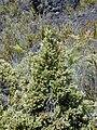 Starr 031001-0141 Leptecophylla tameiameiae.jpg