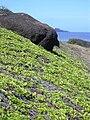 Starr 031127-0065 Jacquemontia ovalifolia subsp. sandwicensis.jpg