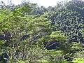 Starr 040209-0033 Falcataria moluccana.jpg
