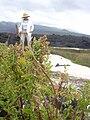 Starr 040410-0214 Chenopodium murale.jpg