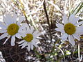 Starr 040723-0092 Leucanthemum vulgare.jpg