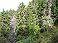 Starr 041221-1865 Cryptomeria japonica.jpg