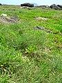 Starr 050418-0237 Sporobolus virginicus.jpg