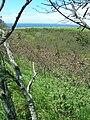 Starr 060416-7725 Leucaena leucocephala.jpg