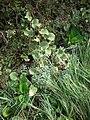 Starr 061129-1707 Solanum nelsonii.jpg