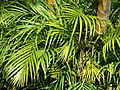 Starr 061206-1979 Chrysalidocarpus lutescens.jpg
