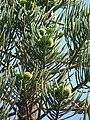 Starr 061224-2856 Araucaria columnaris.jpg