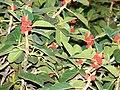 Starr 070727-7642 Ficus benghalensis.jpg
