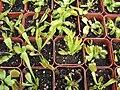 Starr 070906-8684 Dionaea muscipula.jpg
