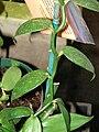 Starr 070906-8780 Vanilla planifolia.jpg