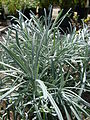 Starr 080117-2066 Helichrysum thianschanicum.jpg