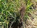 Starr 080210-2781 Heteropogon contortus.jpg