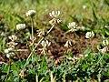 Starr 080418-4248 Trifolium repens.jpg