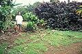Starr 970503-0343 Cordyline fruticosa.jpg