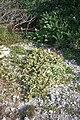 Starr 990412-0418 Solanum nelsonii.jpg