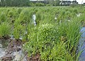 Stellaria palustris kz04.jpg