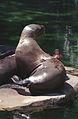 Steller Sea Lions(Vancouver)08(js).jpg