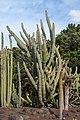 Stenocereus griseus - Jardín Botánico Canario Viera y Clavijo - Gran Canaria.jpg