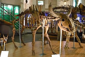 Steppe bison - Bison priscus skeleton