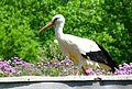 Storch im Wildpark.JPG