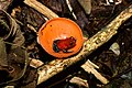 Strawberry Poison Frog (Oophaga pumilio) in Cup Fungus (Cookeina sulcipes) ... (36675333601).jpg