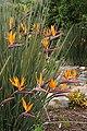 Strelitzia juncea.jpg
