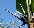 Strelitzia sp. Bird of Paradise Flower. - Flickr - gailhampshire.jpg