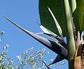 Strelitzia sp. Bird of Paradise Flower. - Flickr - gailhampshire.jpg