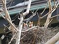 Strepera graculina chick 3.jpg